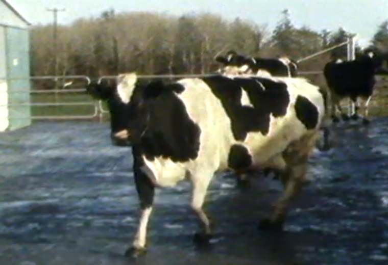 Disco Dancing Cows: RTE