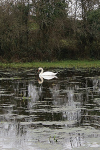 Julie Tillett's picture of a swan before editing