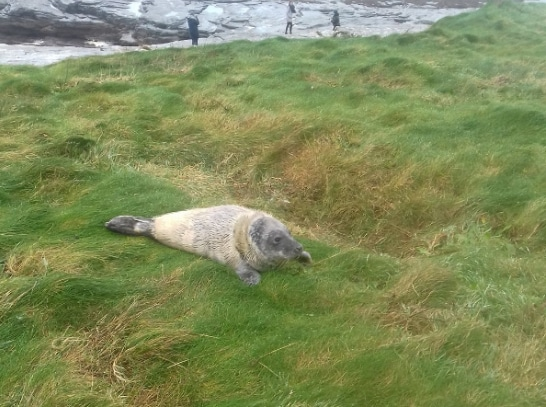 Baby seal at the cliff walk in Kilkee, photo: Vanessa Keane