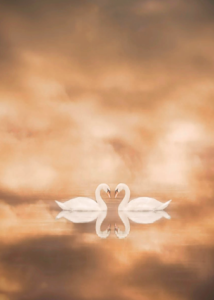 Julie Tillett's picture of a swan after editing with photoshop